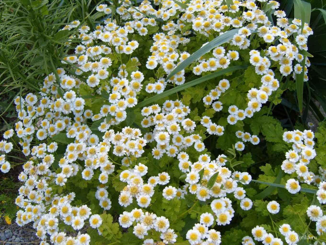Цветок в виде ромашки садовые