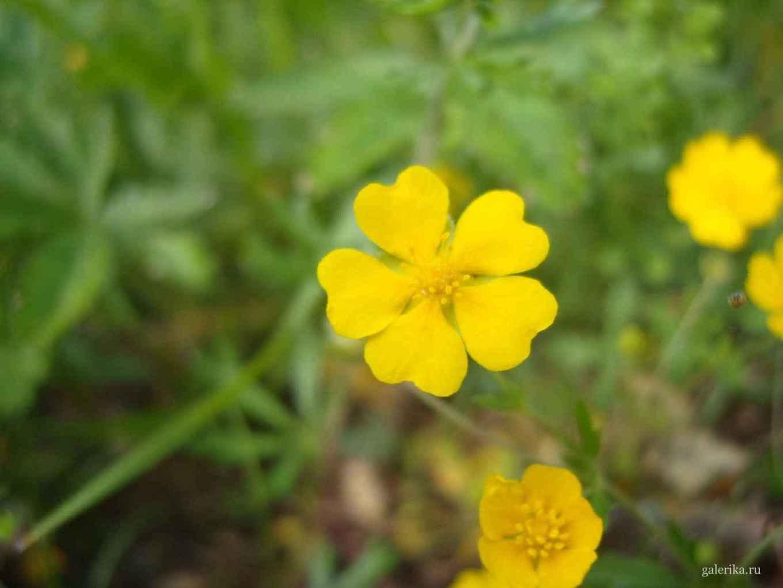 цветок пустырник в природе фото