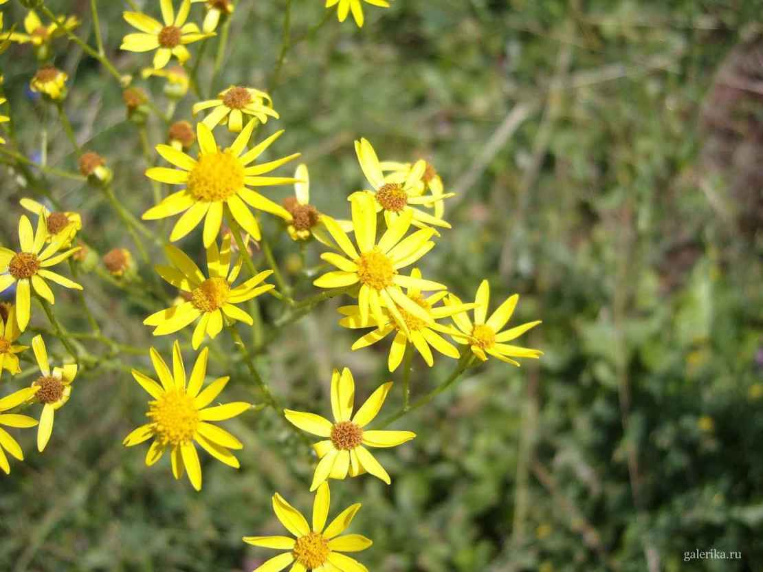 фото полевые желтые цветы